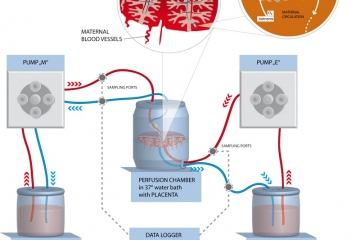 Placental Perfusion