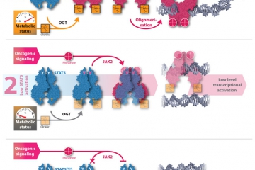 O-GlcNAcylation of STAT5 controls oncogenic transcription